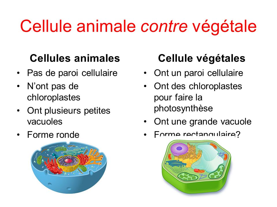 Cellule animale contre végétale