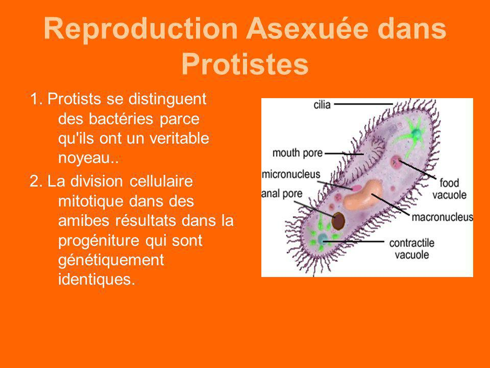 Reproduction Asexuée dans Protistes