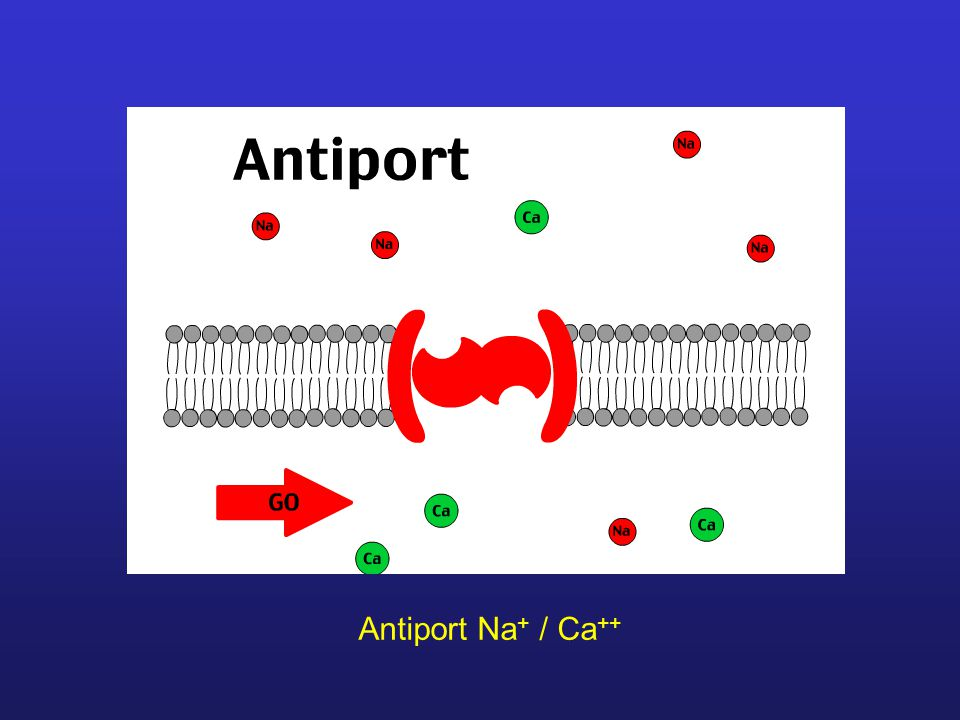 Antiport Na+ / Ca++