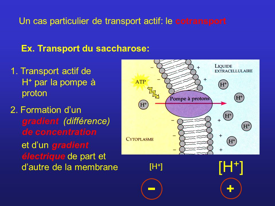 + Un cas particulier de transport actif: le cotransport