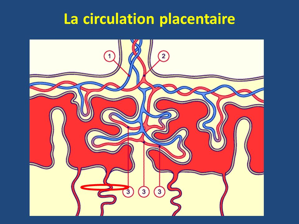 La circulation placentaire