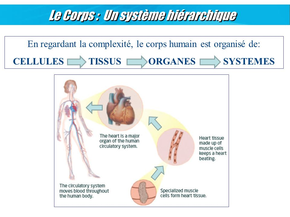 CELLULES TISSUS ORGANES SYSTEMES