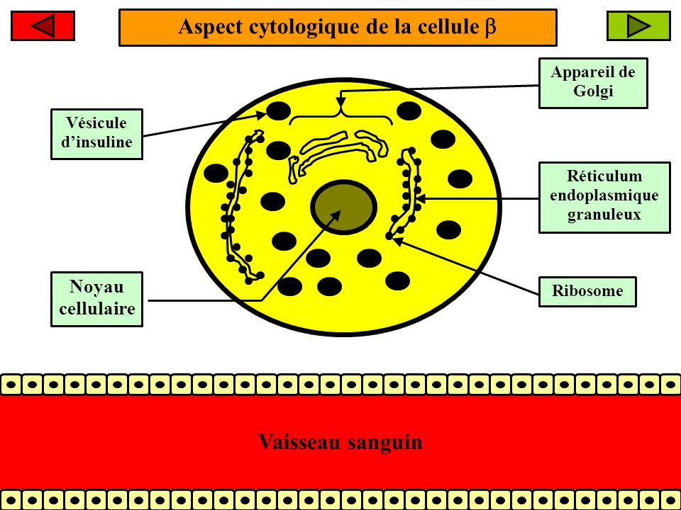 Aspect cytologique de la cellule  Réticulum endoplasmique granuleux