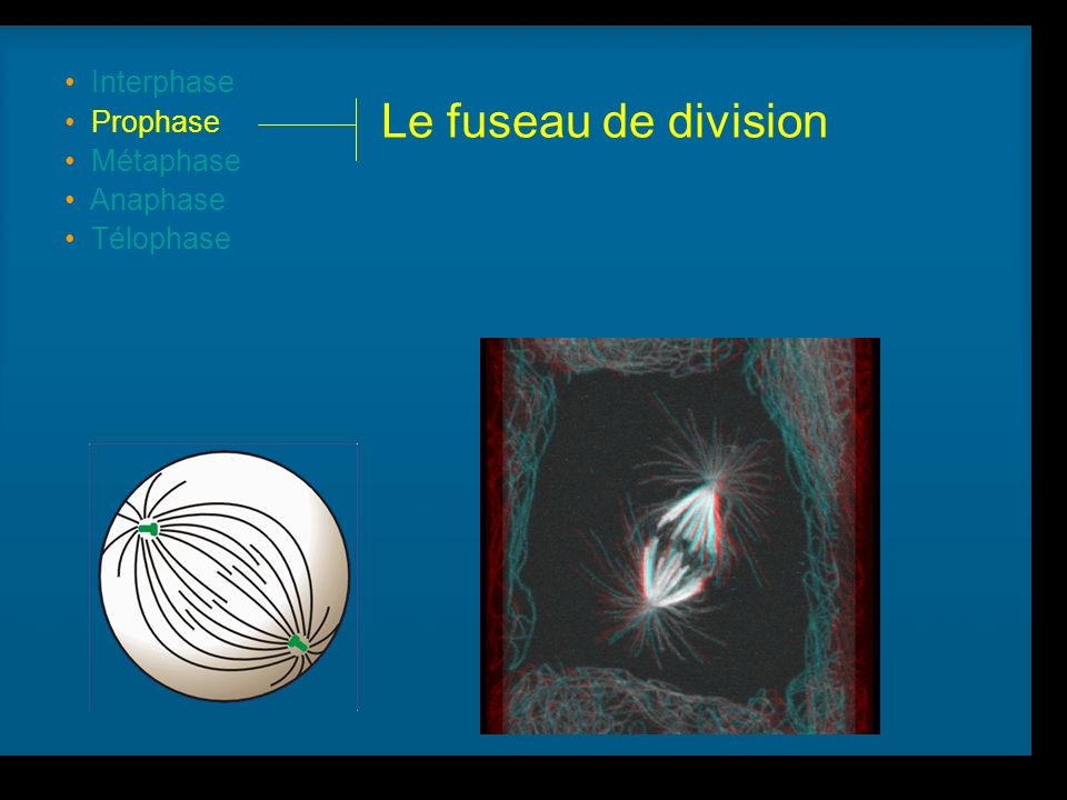 Le fuseau de division Interphase Prophase Métaphase Anaphase Télophase