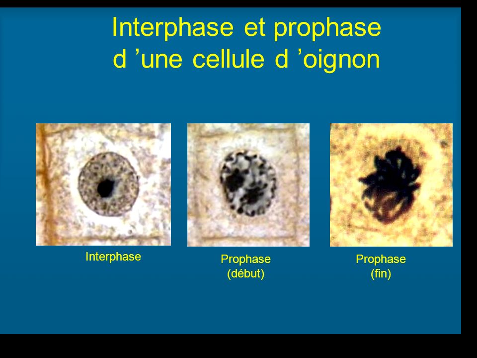 Interphase et prophase d 'une cellule d 'oignon