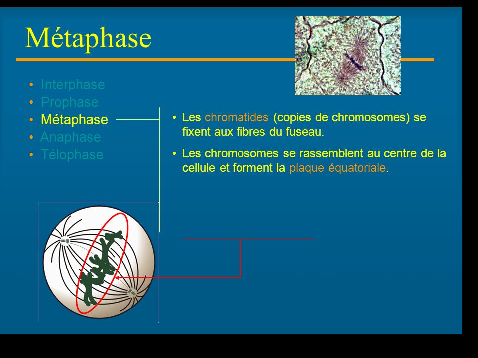 Métaphase Interphase Prophase Métaphase Anaphase Télophase