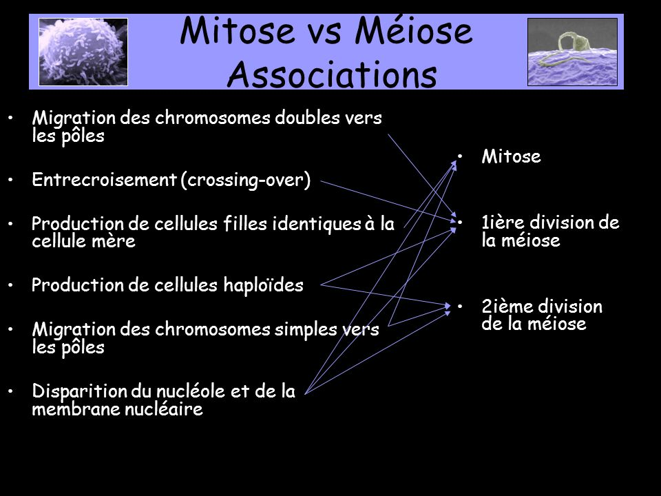 Mitose vs Méiose Associations