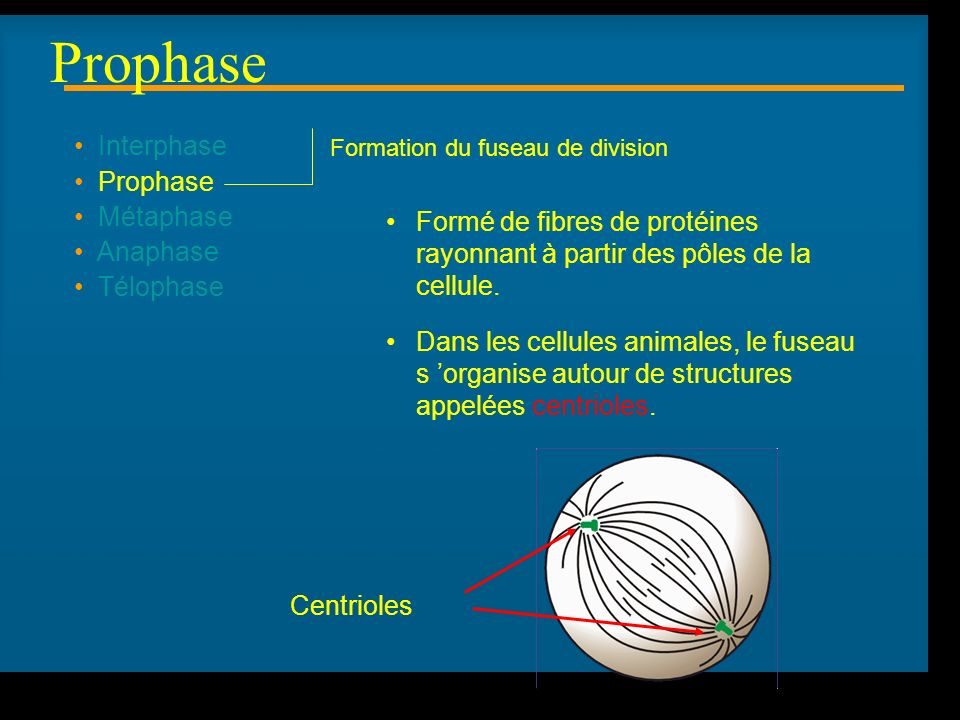 Prophase Interphase Prophase Métaphase Anaphase Télophase