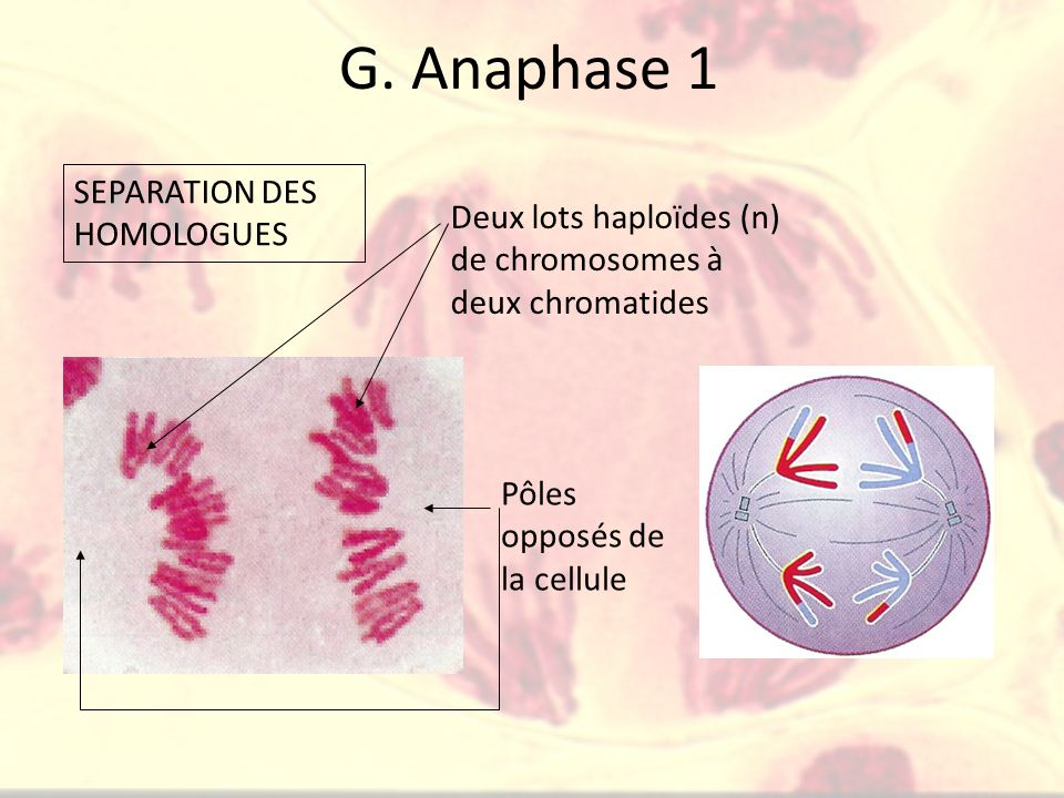 G. Anaphase 1 SEPARATION DES HOMOLOGUES