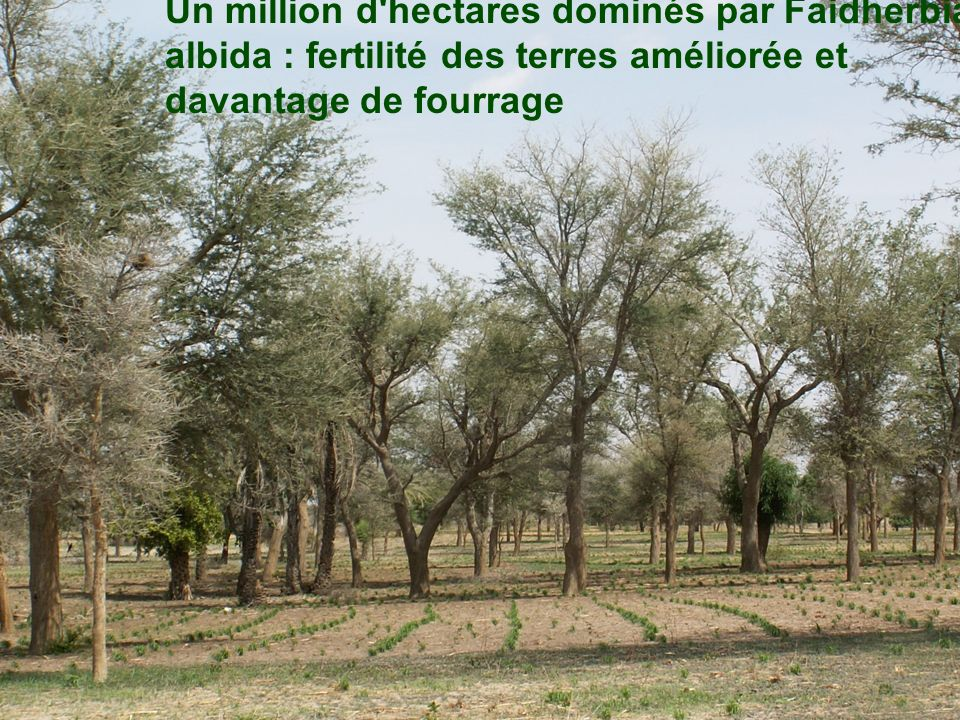 Un million d hectares dominés par Faidherbia