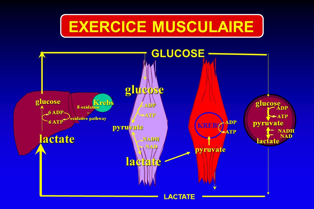 EXERCICE MUSCULAIRE glucose lactate lactate GLUCOSE glucose Krebs