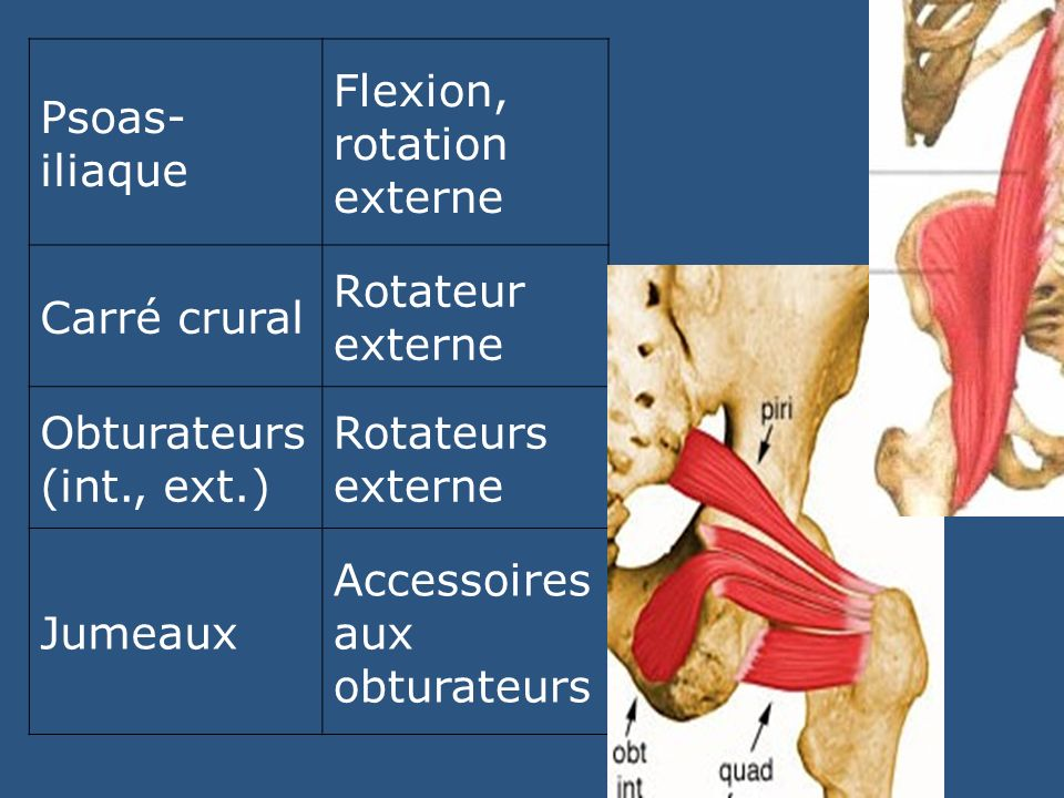 Psoas-iliaque Flexion, rotation externe. Carré crural. Rotateur externe. Obturateurs (int., ext.)