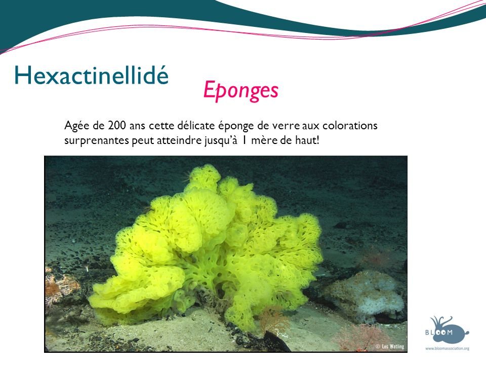 Hexactinellidé Eponges