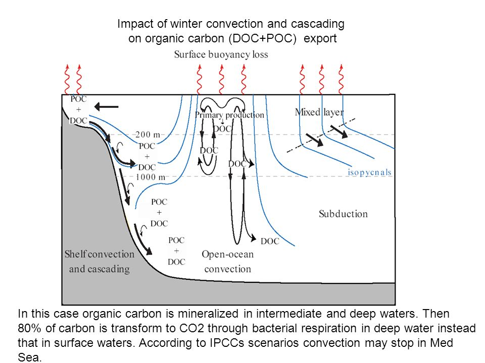 Impact of winter convection and cascading