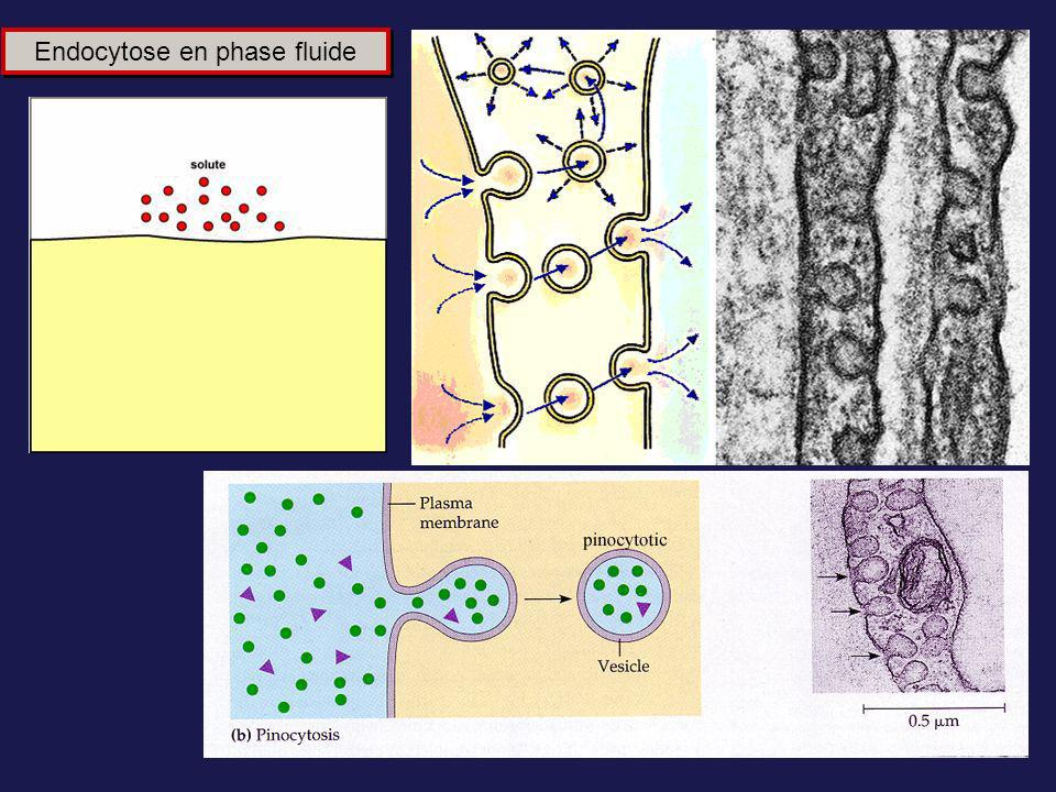 Endocytose en phase fluide