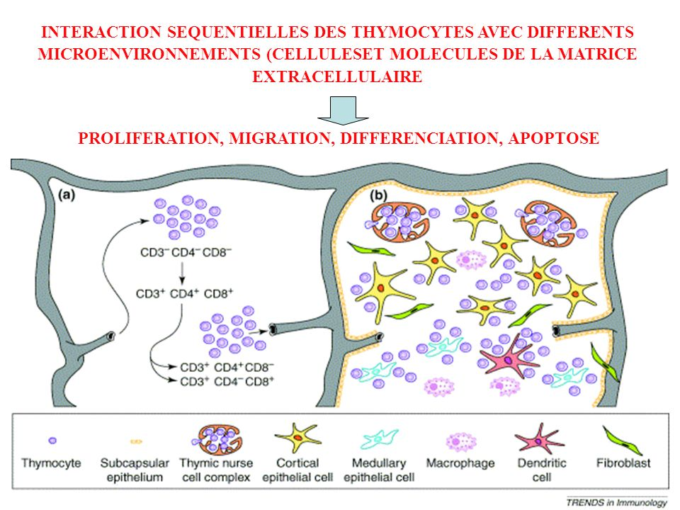 INTERACTION SEQUENTIELLES DES THYMOCYTES AVEC DIFFERENTS MICROENVIRONNEMENTS (CELLULESET MOLECULES DE LA MATRICE EXTRACELLULAIRE