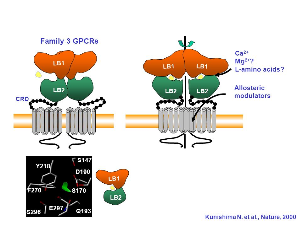 Family 3 GPCRs LB1 LB Ca2+ Mg2+ L-amino acids Allosteric modulators