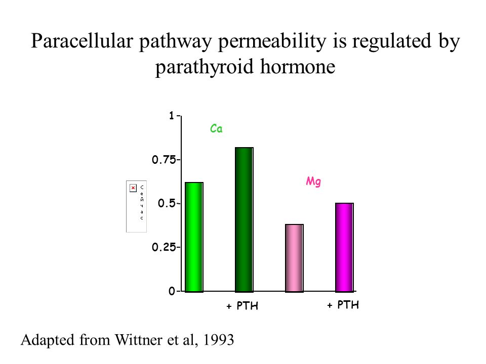 Paracellular pathway permeability is regulated by parathyroid hormone