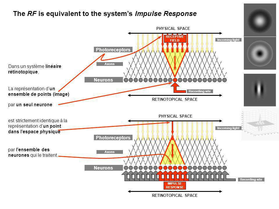 The RF is equivalent to the system's Impulse Response