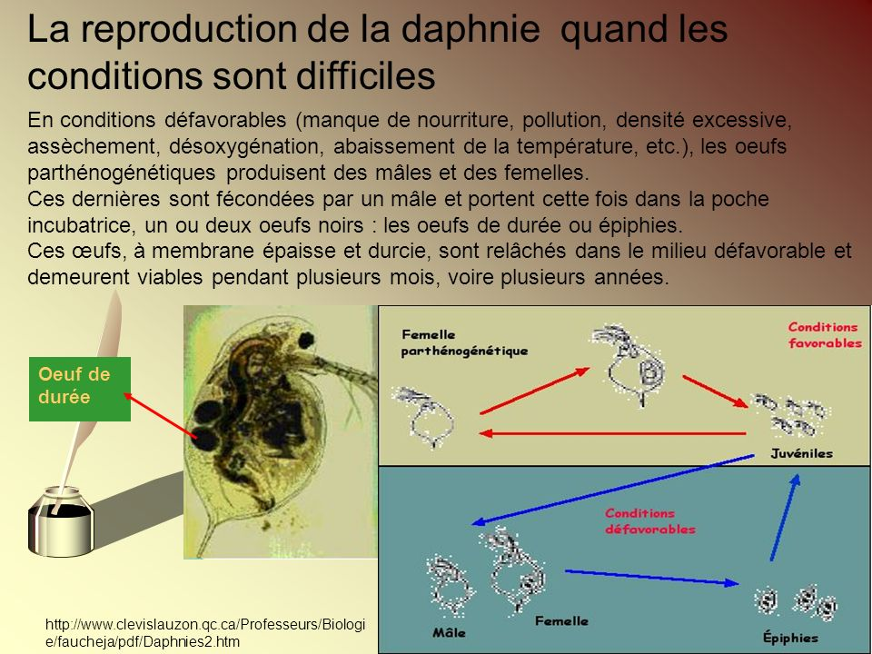 La reproduction de la daphnie quand les conditions sont difficiles