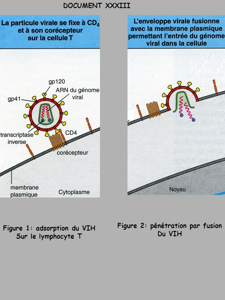 Figure 2: pénétration par fusion Figure 1: adsorption du VIH