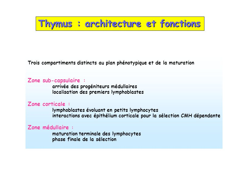 Thymus : architecture et fonctions