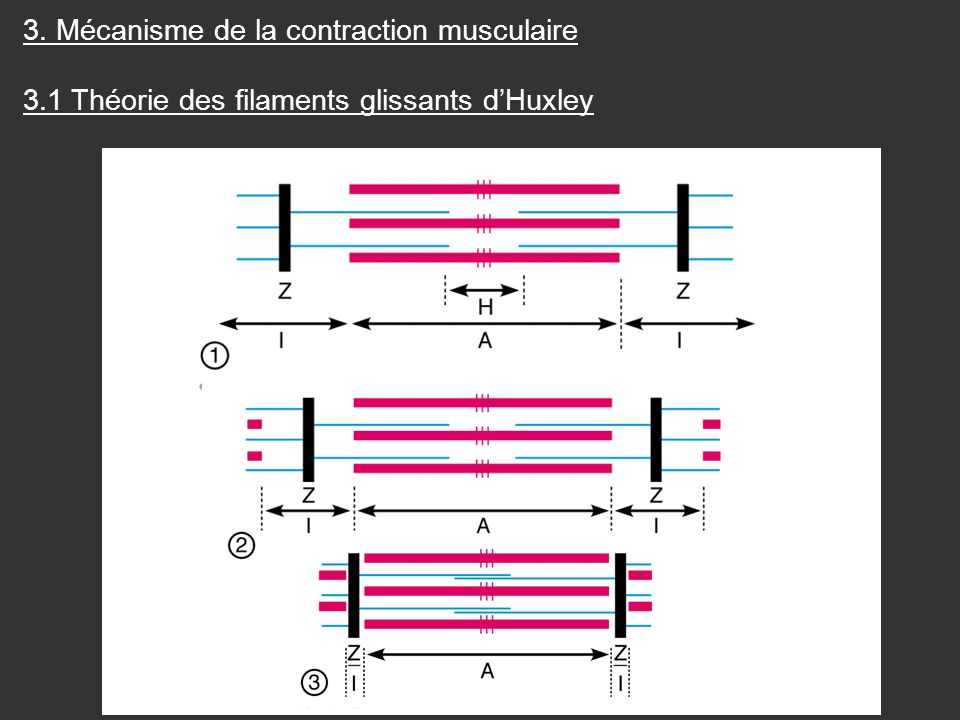 3. Mécanisme de la contraction musculaire 3