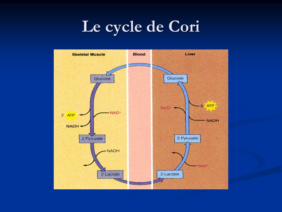 Le cycle de Cori