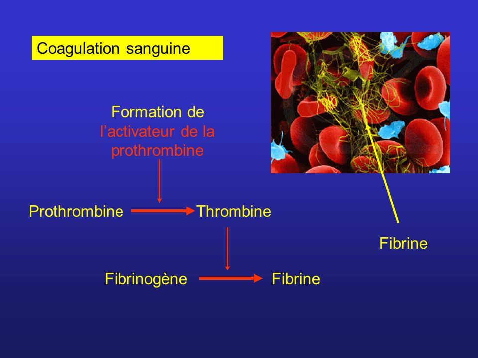 Formation de l'activateur de la prothrombine