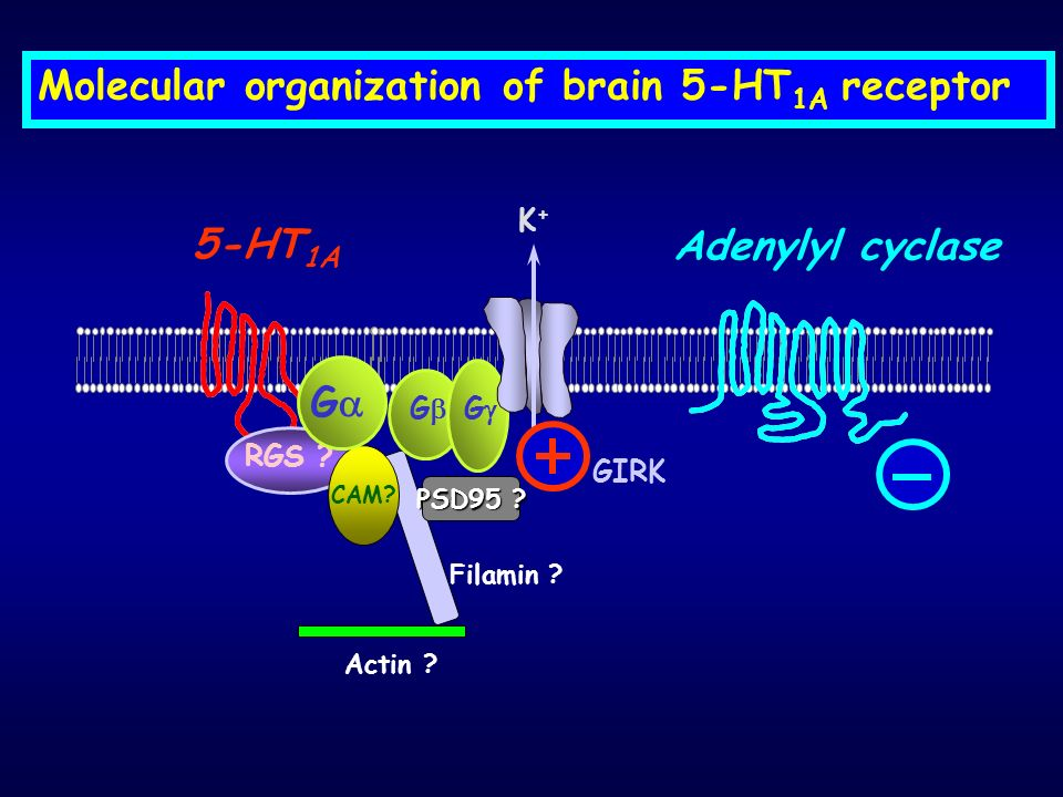Molecular organization of brain 5-HT1A receptor