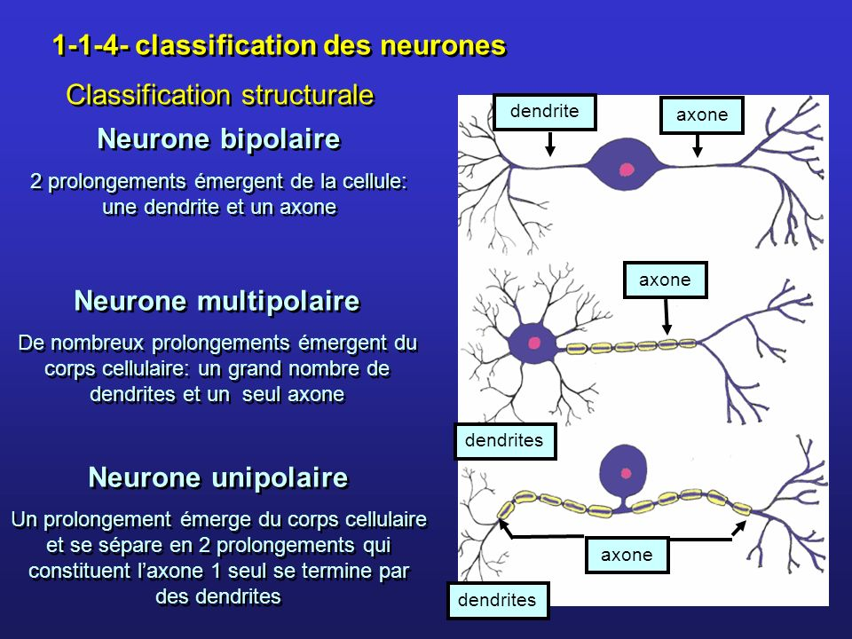 Neurone bipolaire Neurone multipolaire Neurone unipolaire