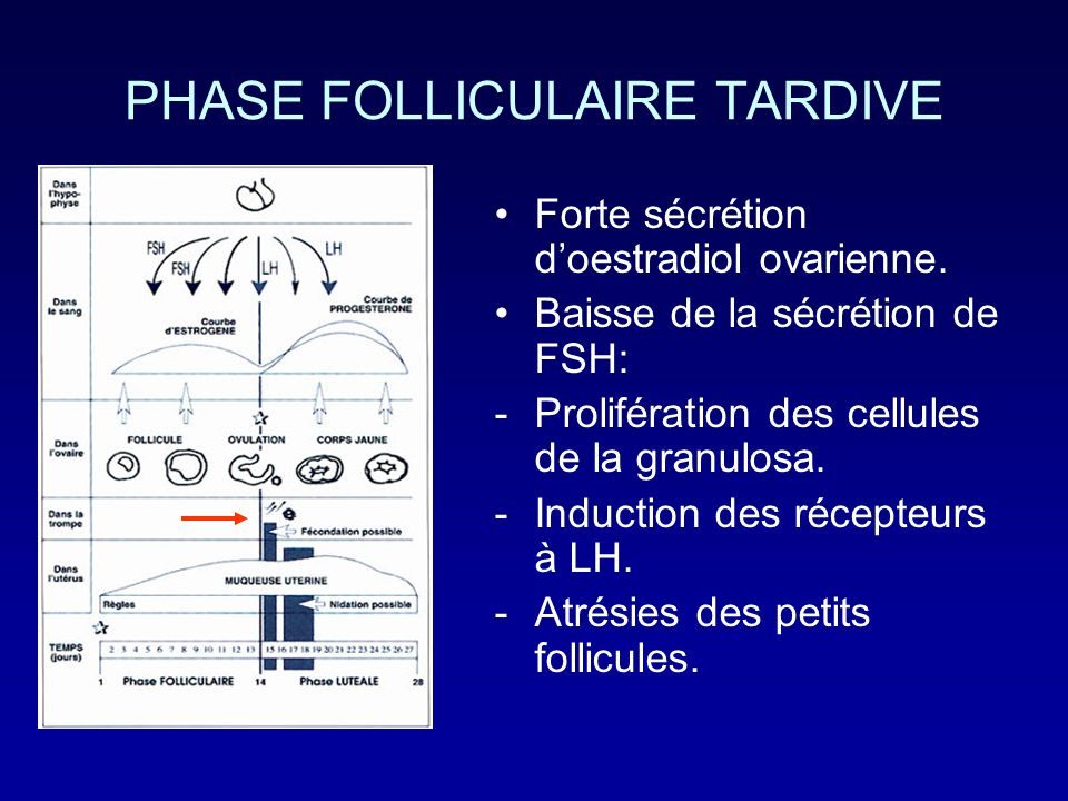 PHASE FOLLICULAIRE TARDIVE