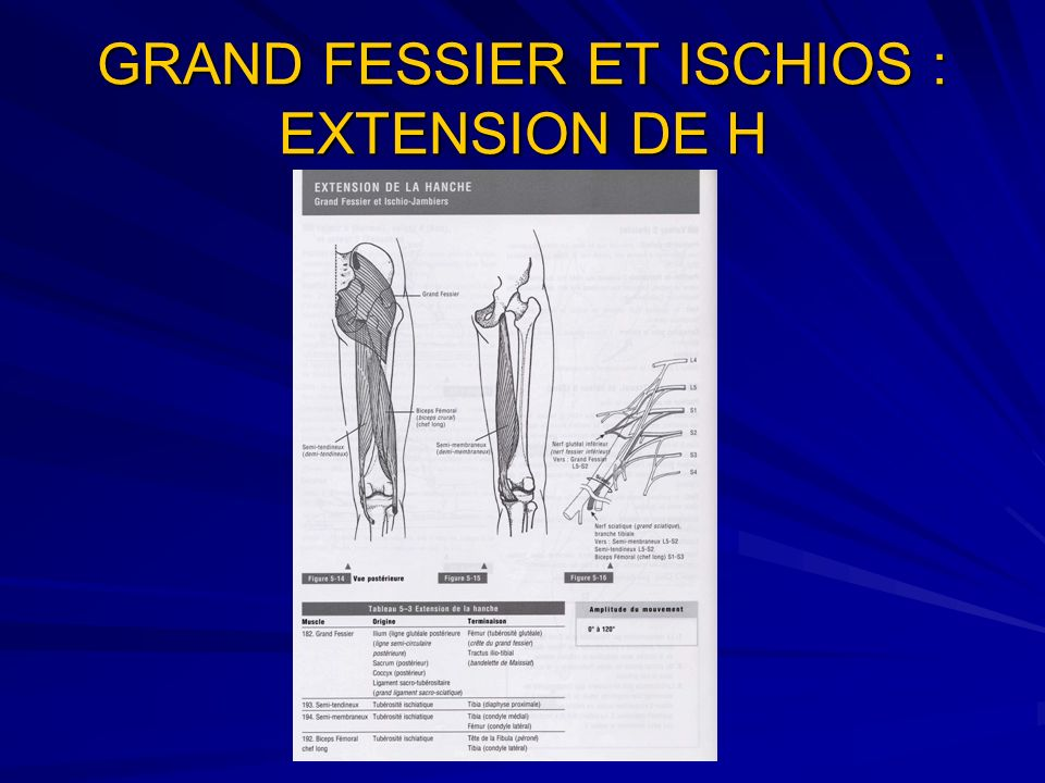 GRAND FESSIER ET ISCHIOS : EXTENSION DE H