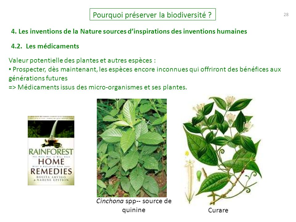Cinchona spp-- source de quinine