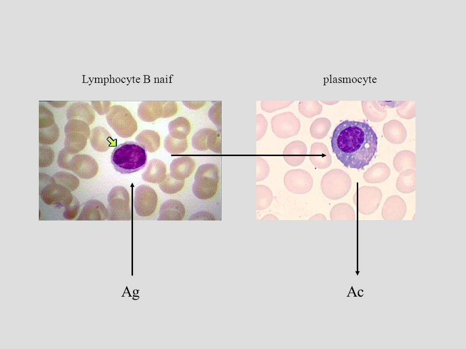 Lymphocyte B naif plasmocyte Ag Ac