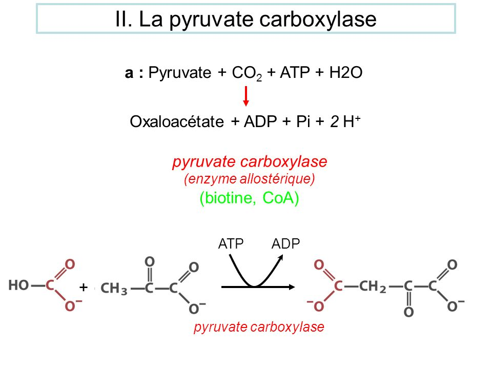 II. La pyruvate carboxylase