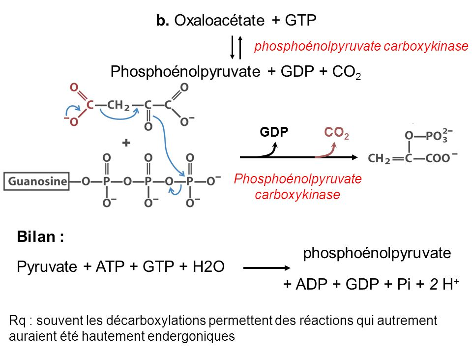 phosphoénolpyruvate carboxykinase