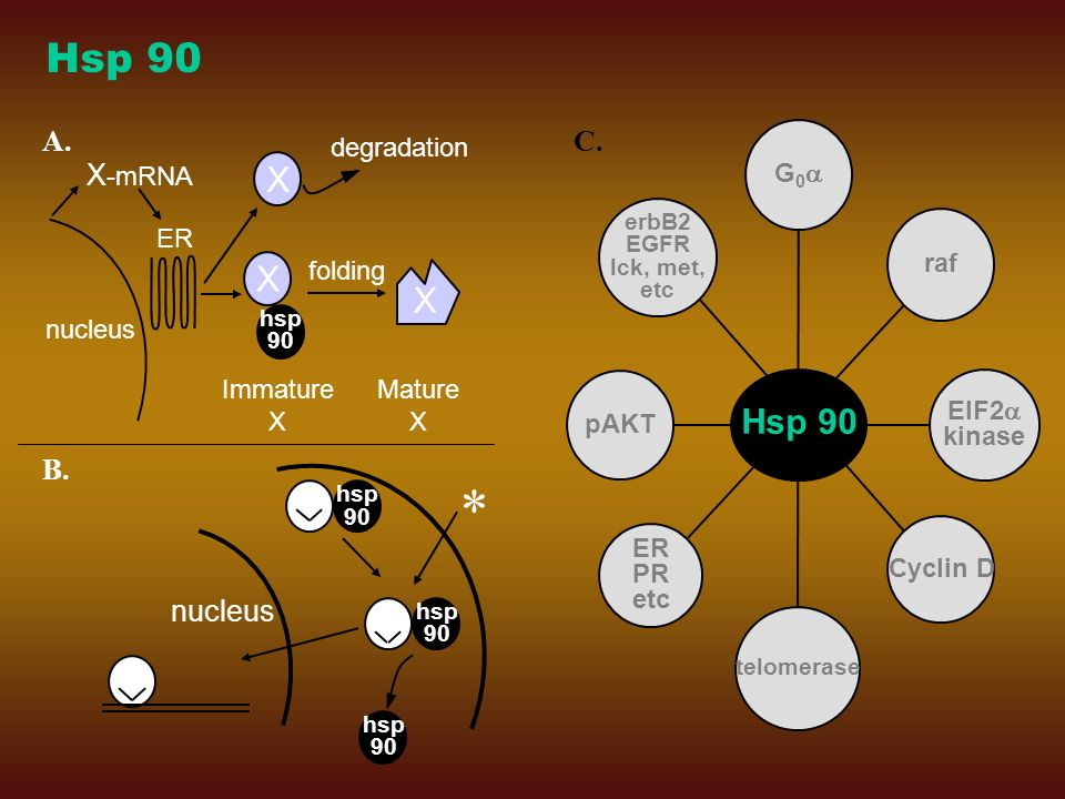 * Hsp 90 X Hsp 90 A. C. X-mRNA B. nucleus degradation nucleus Immature