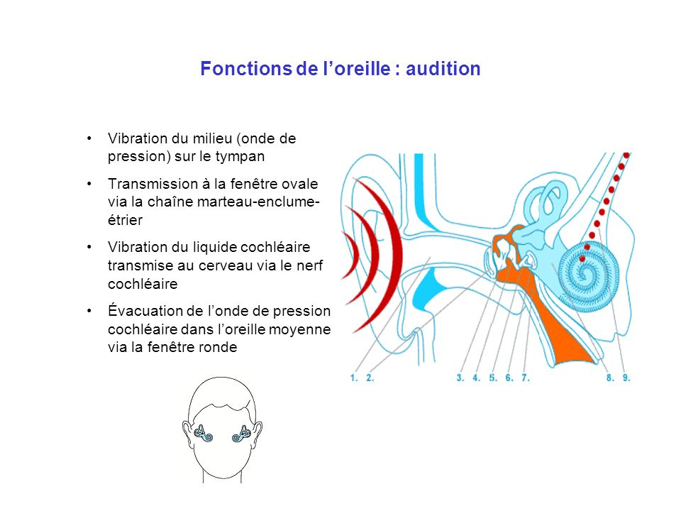 Fonctions de l'oreille : audition