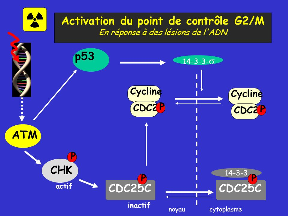 Activation du point de contrôle G2/M