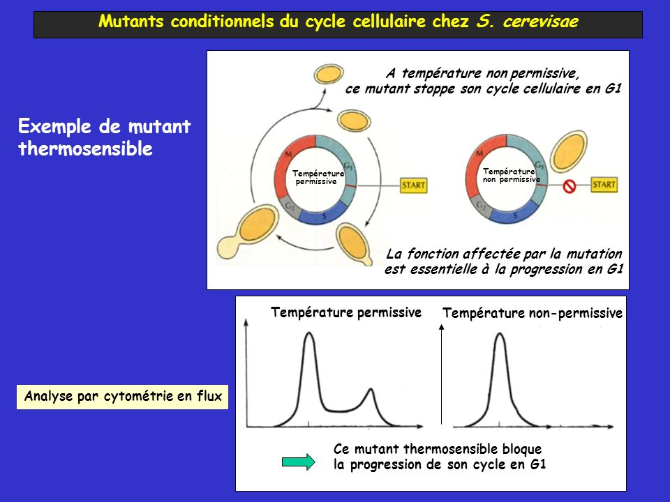Mutants conditionnels du cycle cellulaire chez S. cerevisae