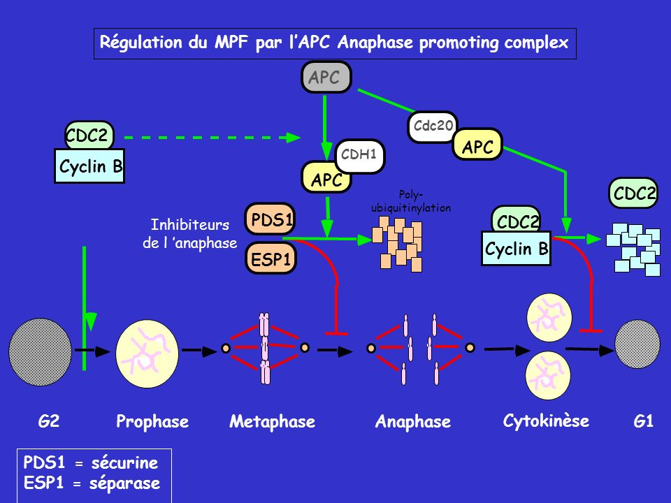 Régulation du MPF par l'APC Anaphase promoting complex