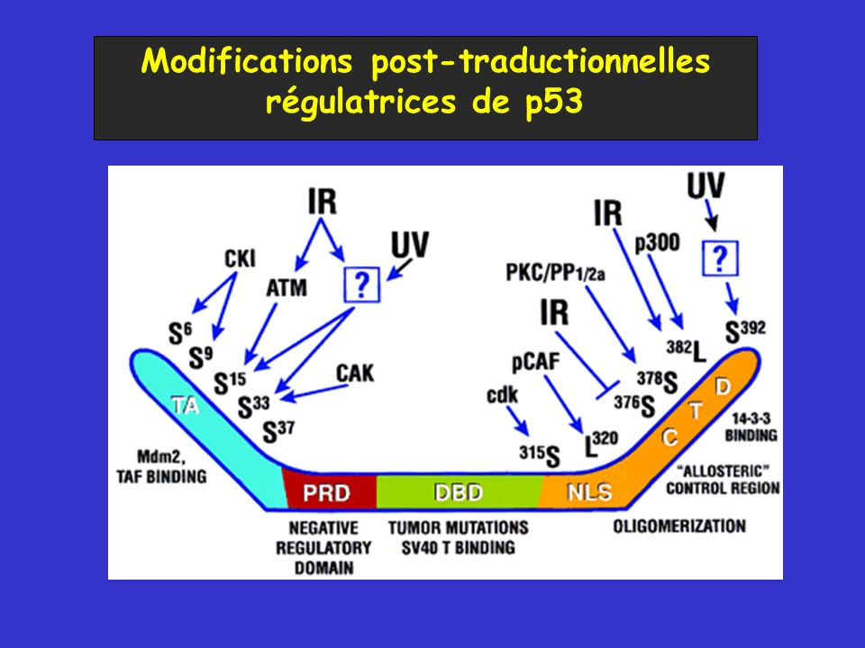 Modifications post-traductionnelles régulatrices de p53