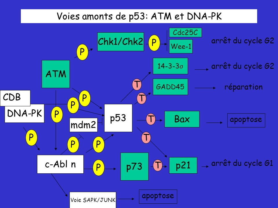 Voies amonts de p53: ATM et DNA-PK