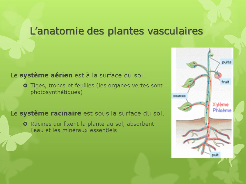 fonctions des plantes et anatomie des plantes vasculaire ppt t l charger. Black Bedroom Furniture Sets. Home Design Ideas