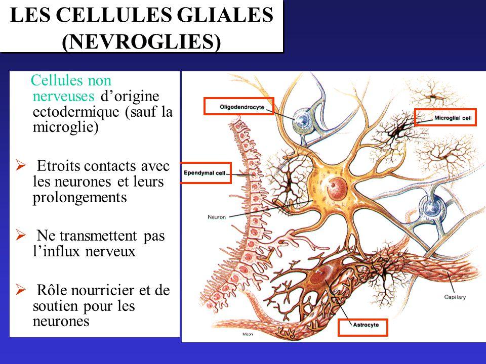 le tissu nerveux cours pdf