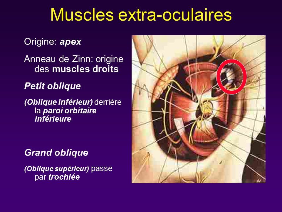 Muscles extra-oculaires