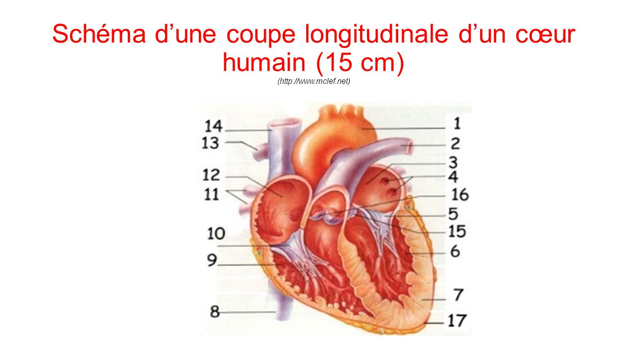 Anatomie et physiologie cardiaque ppt video online t l charger - Coupe longitudinale du coeur ...