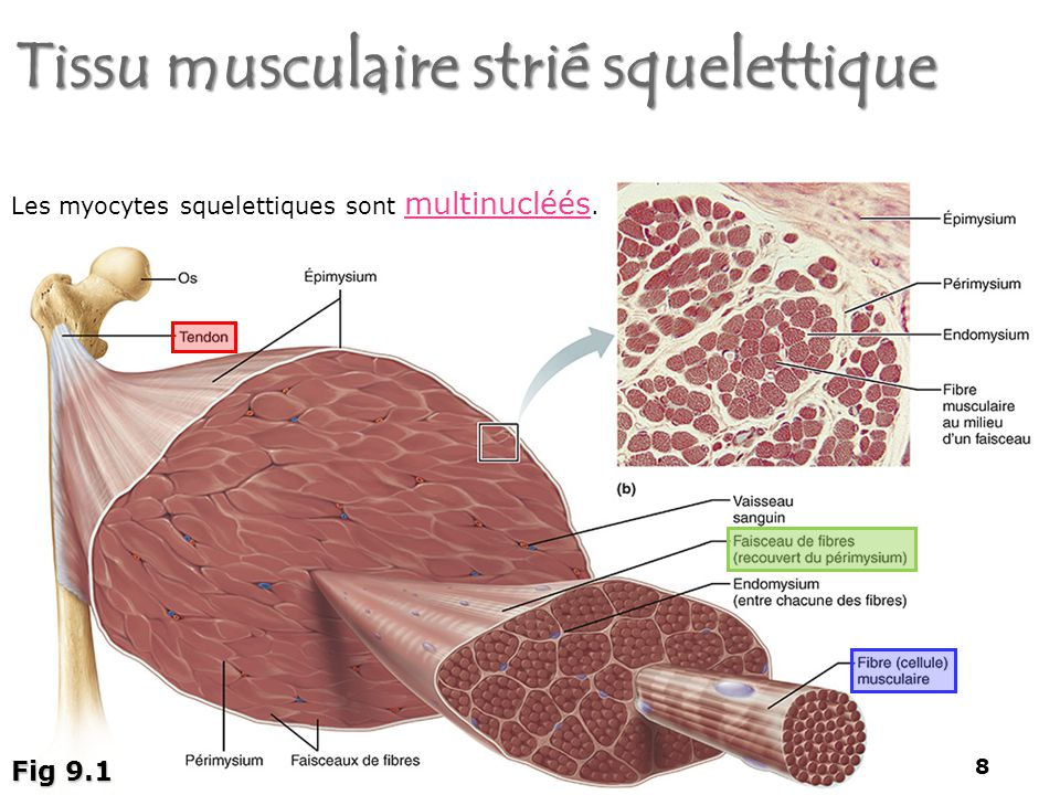 organisation du muscle squelettique