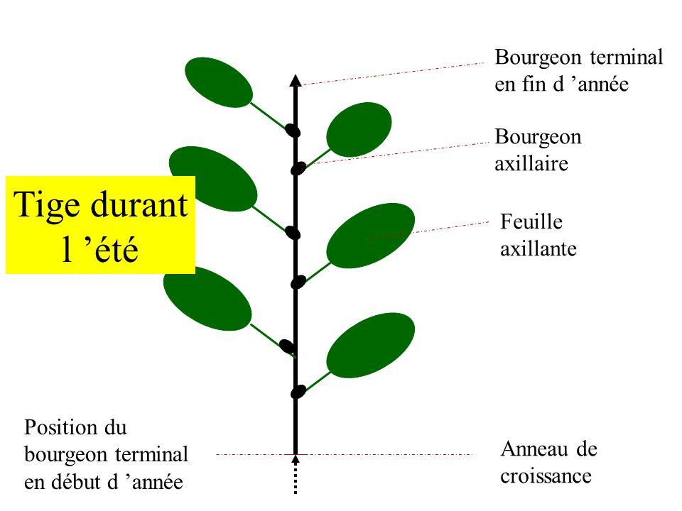 T D 1 Croissance Et Organisation D Une Plante Ligneuse